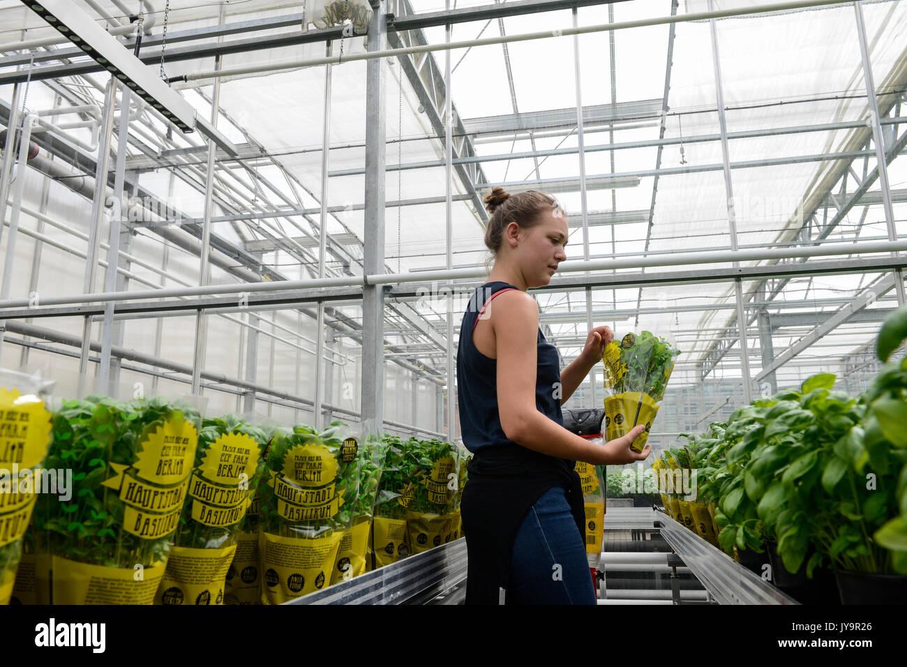 Deutschland, Berlin, kombinierten Basilikum und Tilapia-fisch Bauernhof von Start up ECF, der Fischzucht mit grüne Stockfoto