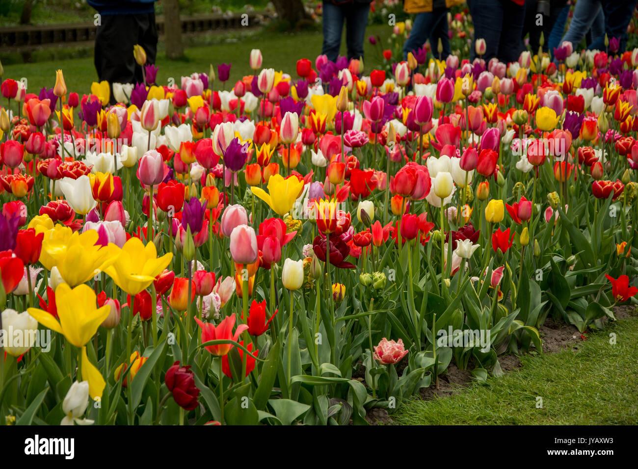 tulips park in amsterdam netherlands stockfotos tulips park in amsterdam netherlands bilder. Black Bedroom Furniture Sets. Home Design Ideas