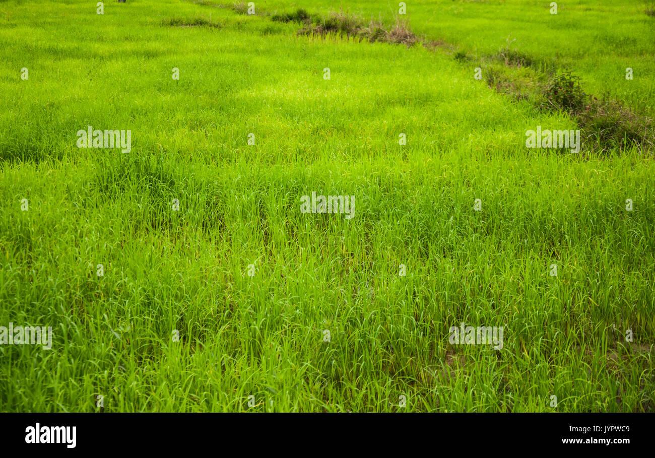 Kleine Straße Im Grünen Bereich Der Reisfarm In Thailand Stockfoto