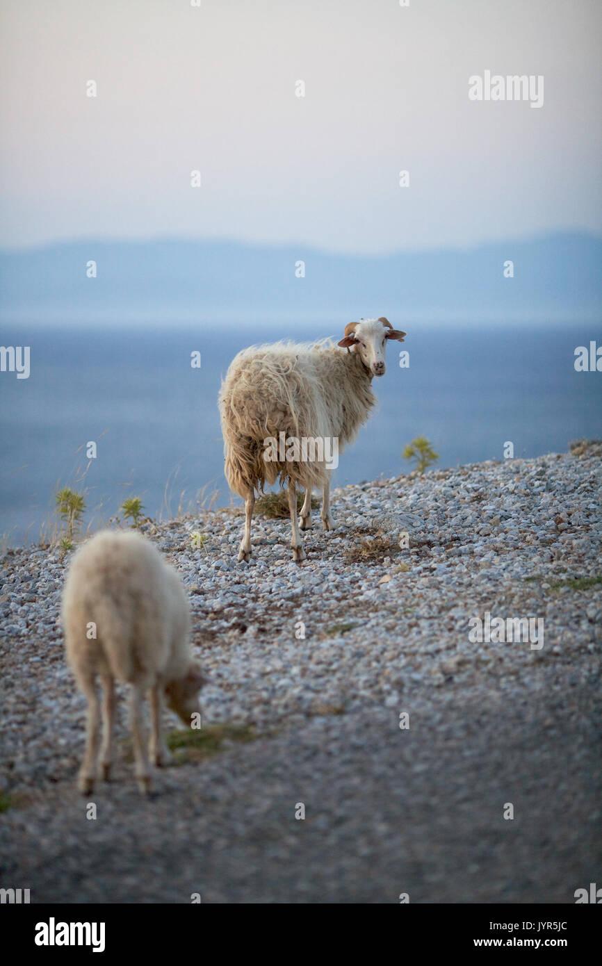 Schafe auf Tilos Island, Dodekanes, Griechenland Stockbild