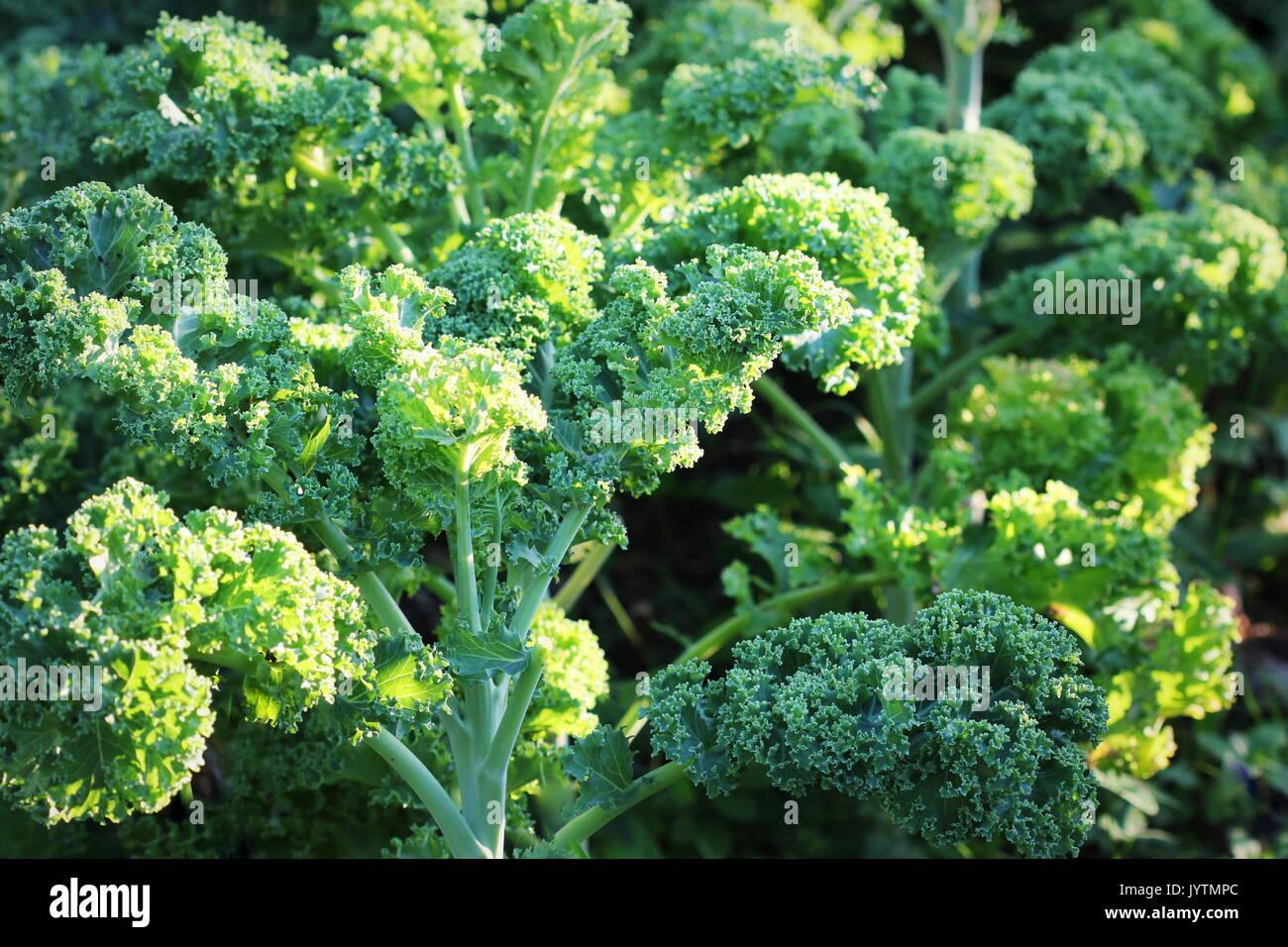 Junge kale im Gemüsegarten wachsen Stockbild