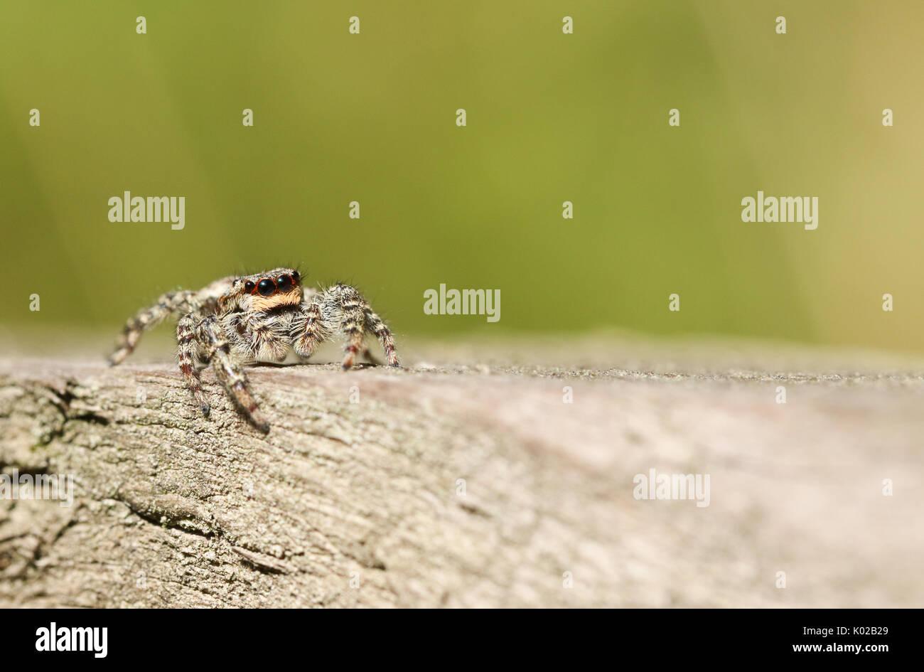 Ein süßes Jumping Spider (Marpissa Muscosa). Stockbild