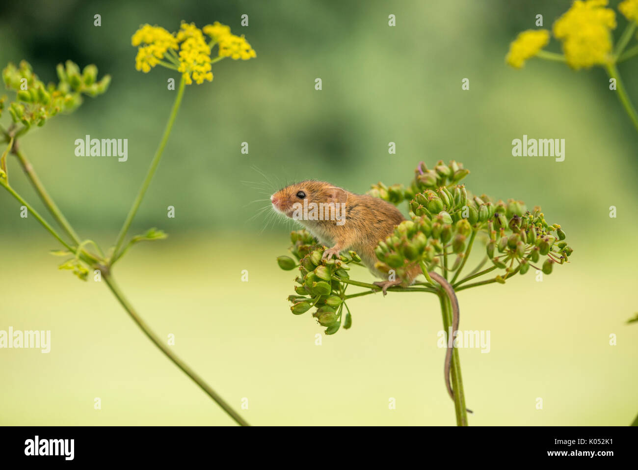 Ernte Maus (Micromys Minutus) auf wilde Pastinake (Pastinaca sativa) Stockbild