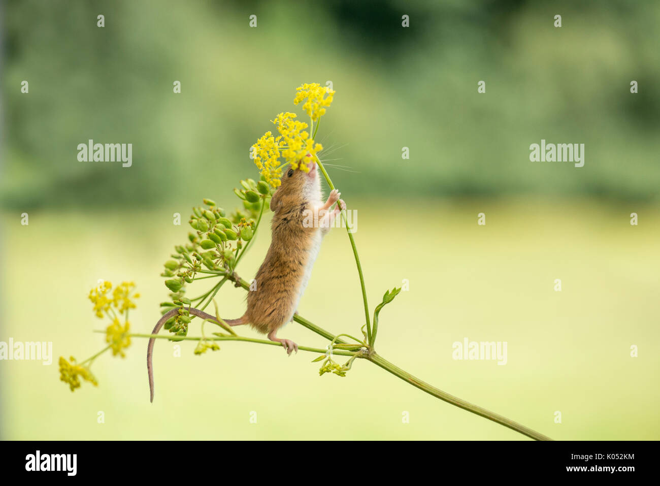Ernte Maus (Micromys Minutus) essen Samen und Blüten wilder Pastinak (Pastinaca sativa) Stockbild