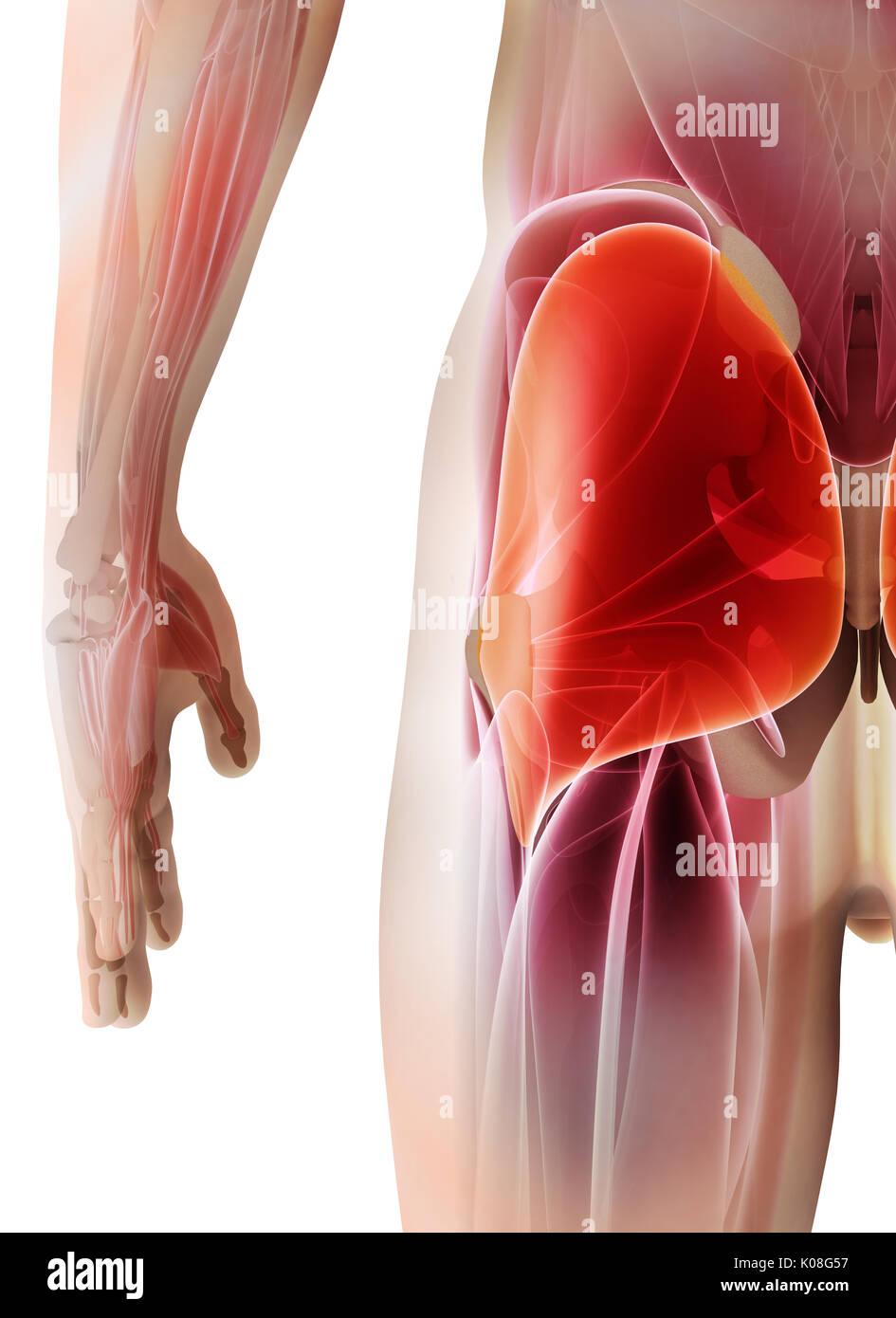 Hamstrings Male Muscles Anatomy Muscle Stockfotos & Hamstrings Male ...