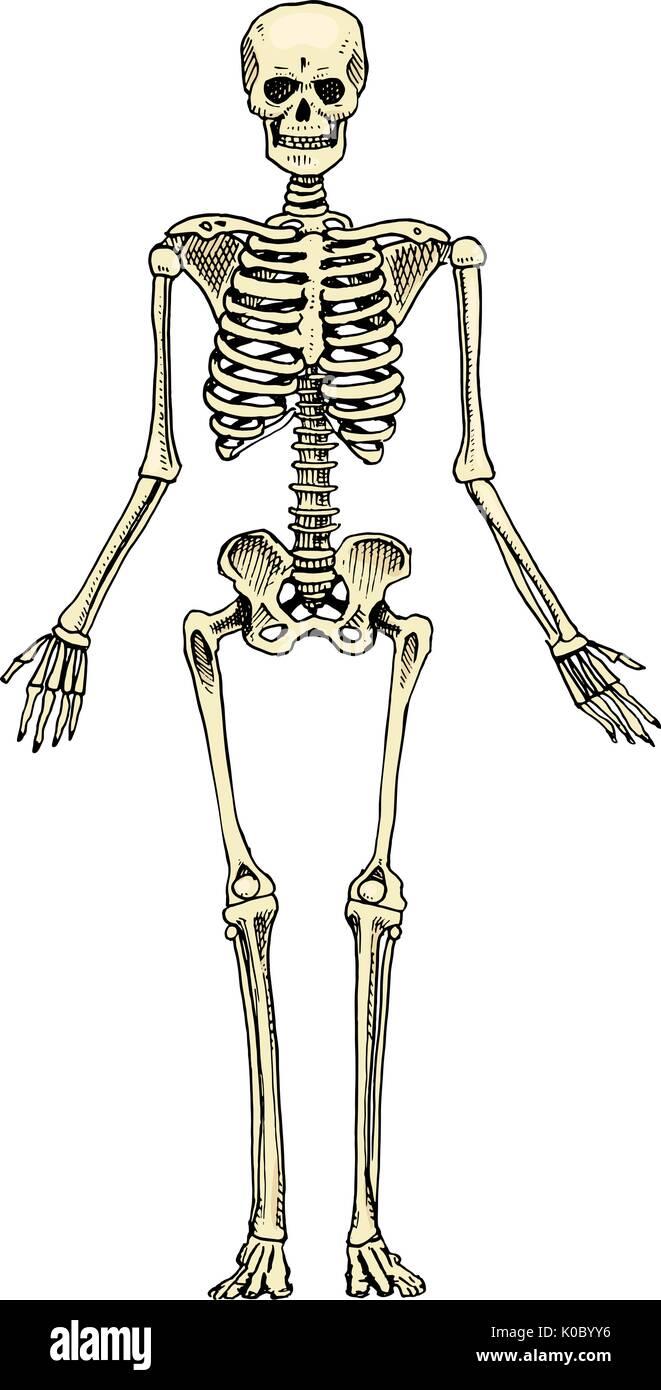 Gemütlich Knochen Auf Einem Skelett Gekennzeichnet Galerie ...
