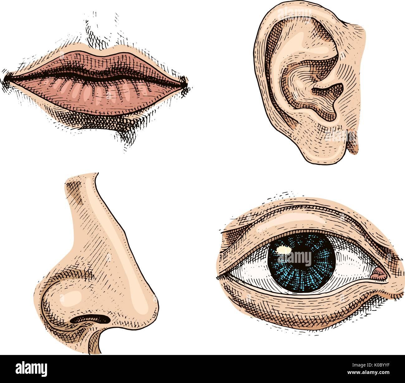 Humanbiologie, Organe Anatomie Abbildung. gravierte handgezeichnete ...
