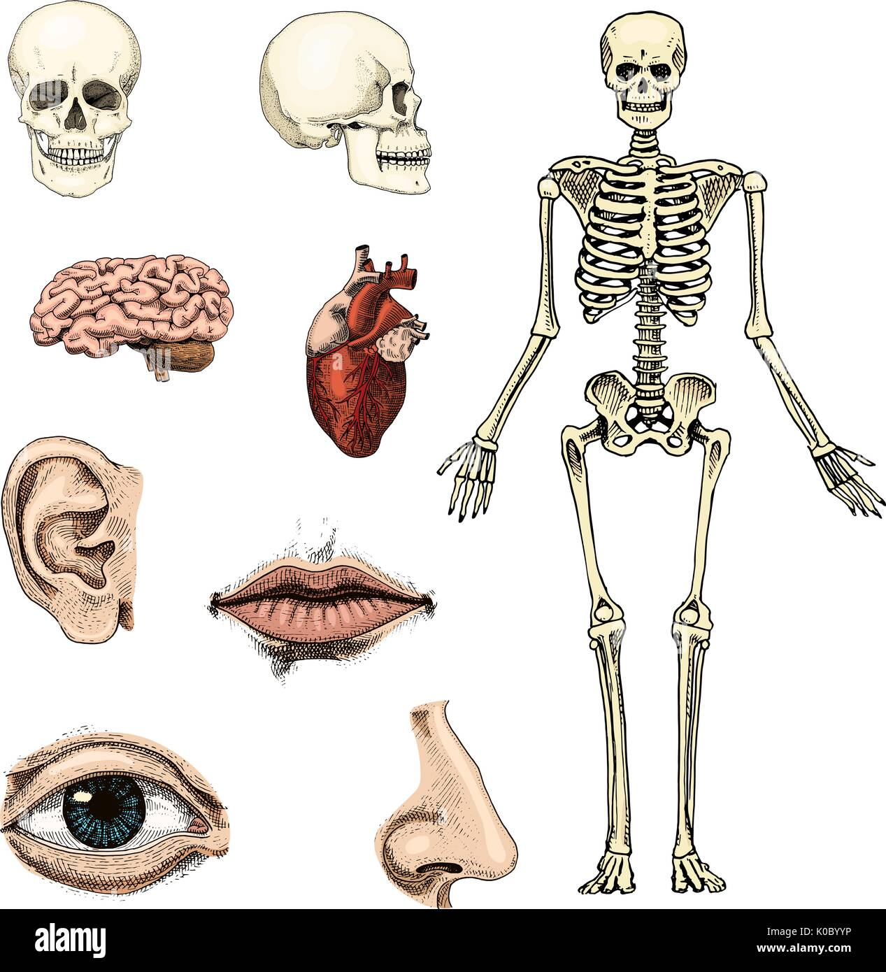 Tolle Humanbiologie Anatomie Und Physiologie Zeitgenössisch ...