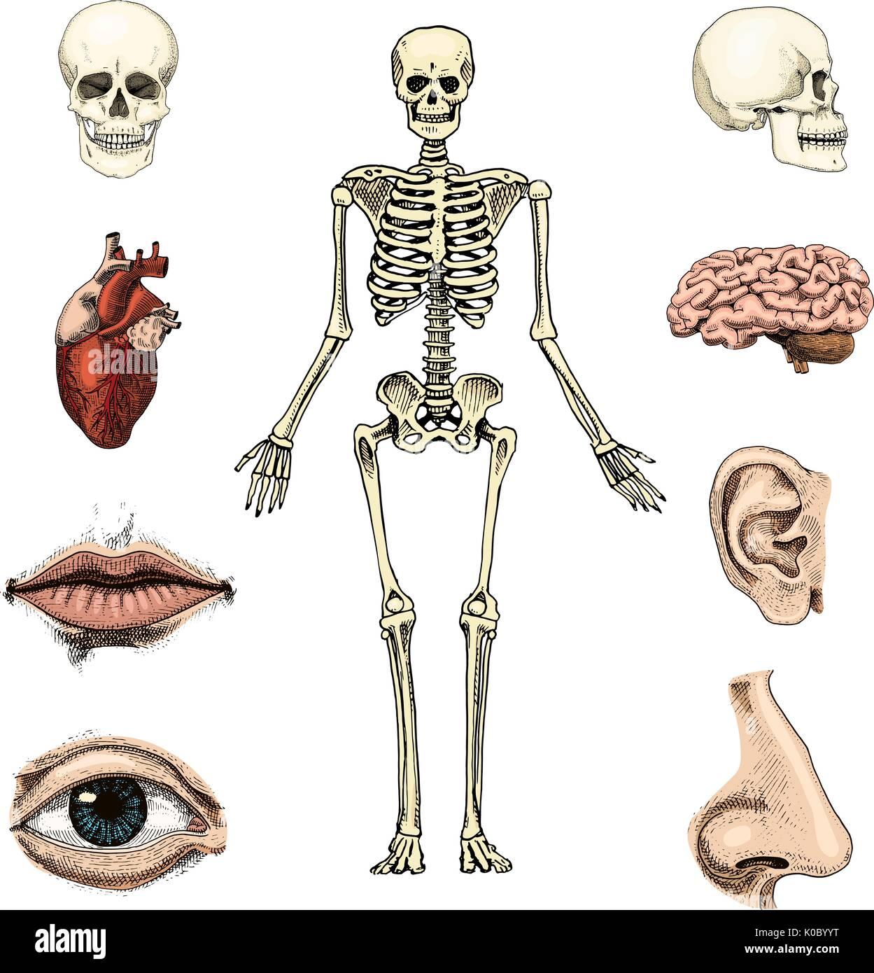 Nett Begriffe Anatomie Und Physiologie Direktionale Anpassung ...