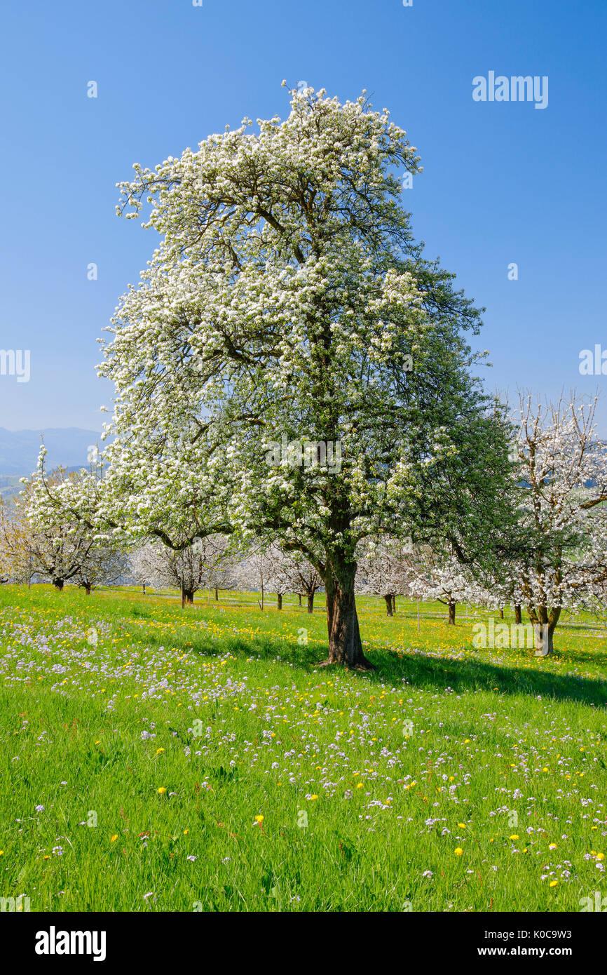 Blühender Birnbaum im Frühling, Schweiz Stockfoto, Bild