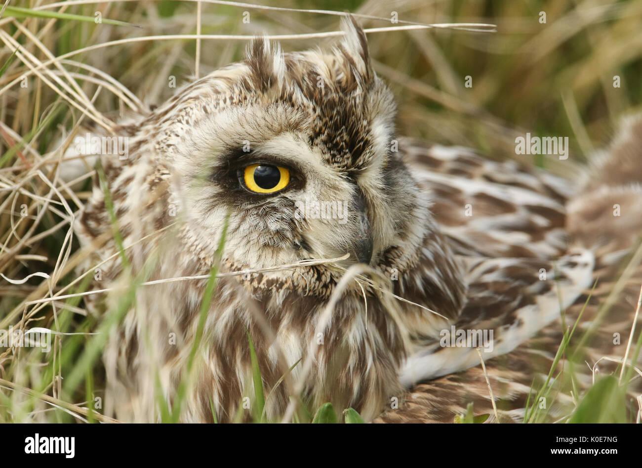 Eine Sumpfohreule (Asio Flammeus) verstecken sich in den Rasen mit seiner Beute. Stockfoto