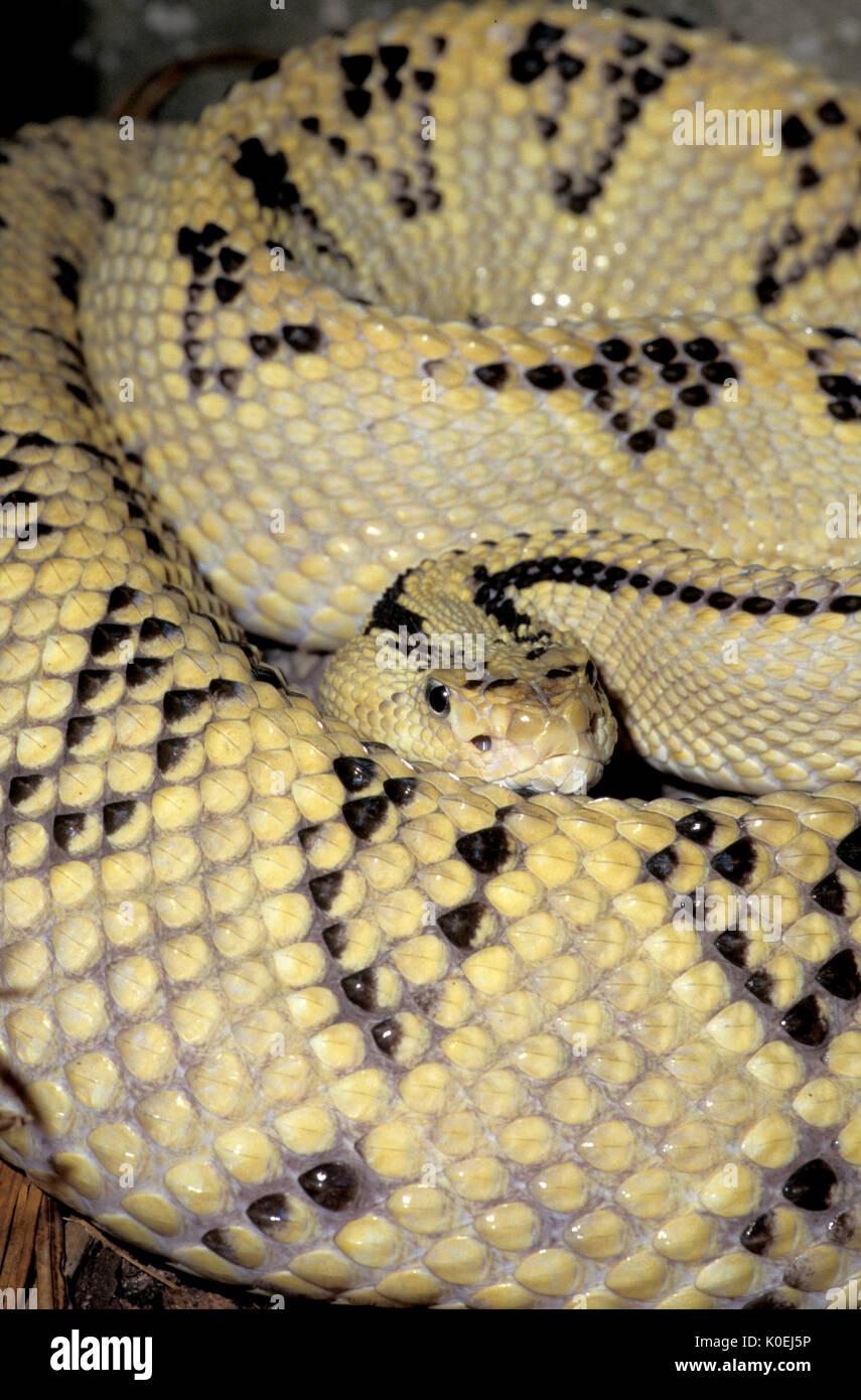Rattlesnake Crotalus Durissus Stockfotos Rattlesnake Crotalus