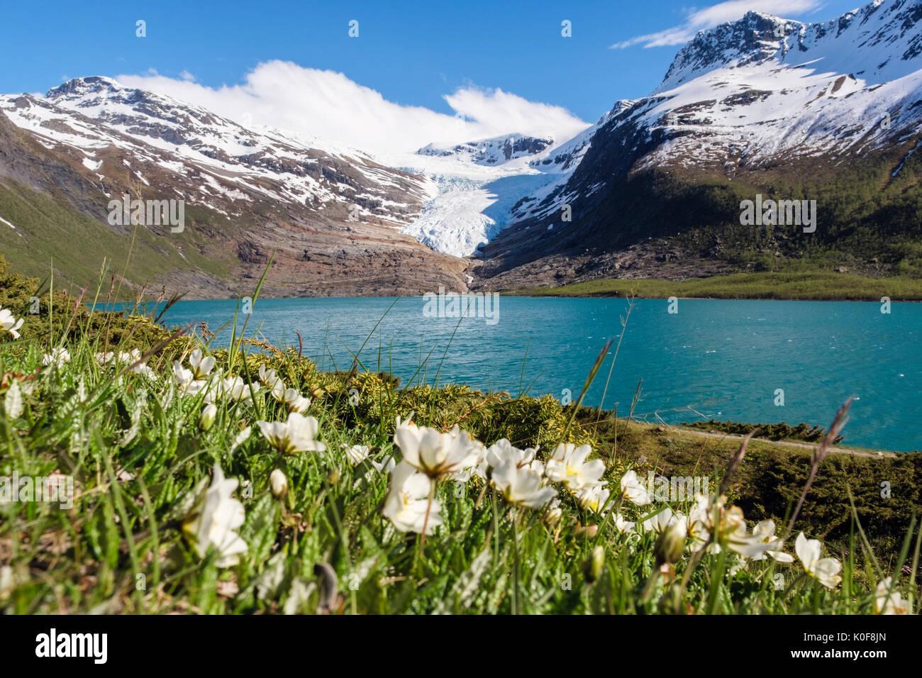 Engabreen Gletscher Svartisen Arm der Eiskappe über Svartisvatnet See mit Berg Avens Dryas octopetala Blumen im Sommer gesehen. Norwegen Stockbild