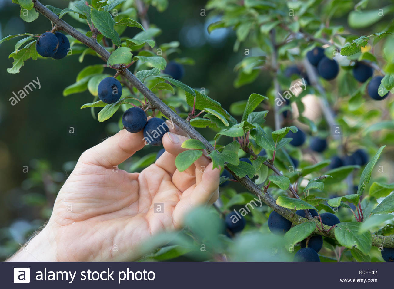 damson plum tree stockfotos damson plum tree bilder alamy. Black Bedroom Furniture Sets. Home Design Ideas