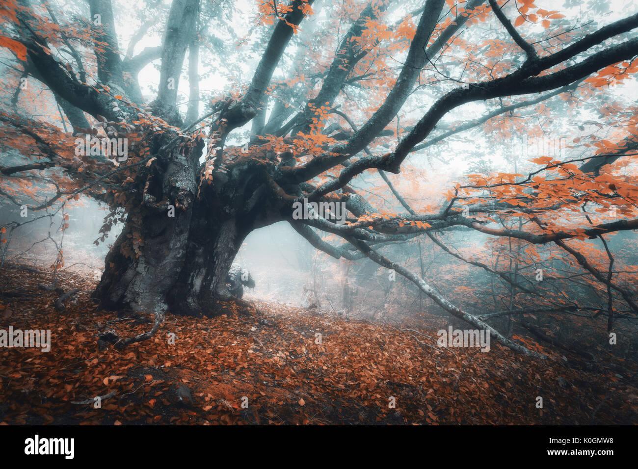 Gruselige Baum im Nebel. Alte Magische Baum mit großen ...