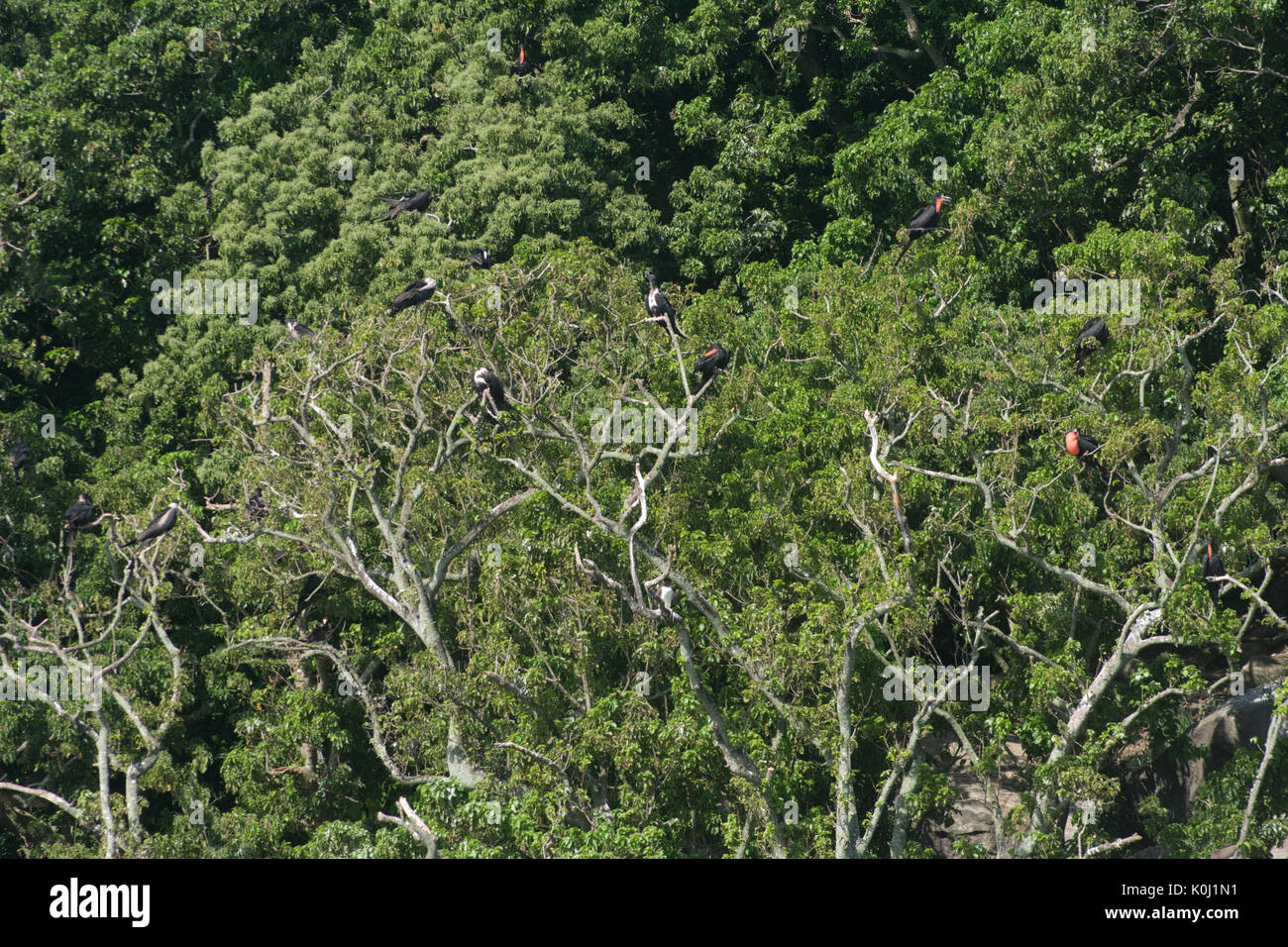 Seevögel an Bäumen auf 'Ilha da Queimada Grande' Insel, Sao Paulo State Ufer, Brasilien Stockbild