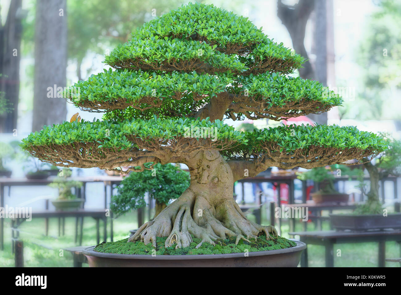 cypress bonsai tree stockfotos cypress bonsai tree. Black Bedroom Furniture Sets. Home Design Ideas