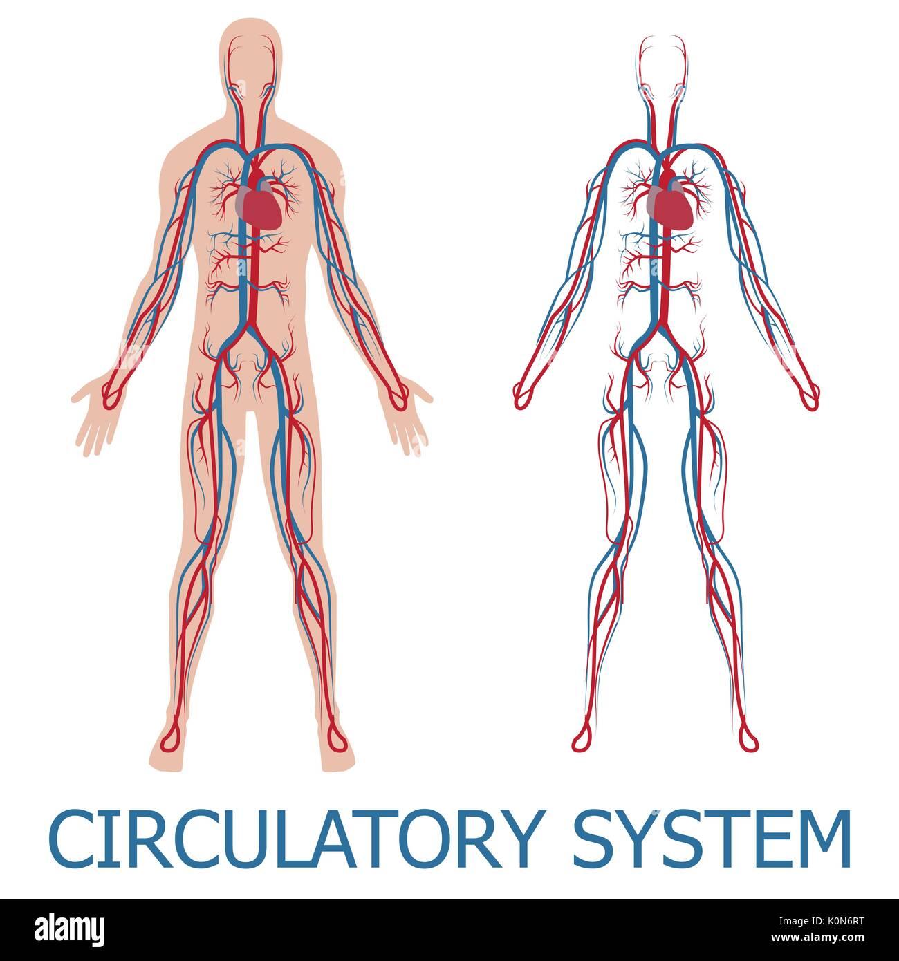 Menschlichen Blutkreislauf. Vector Illustration der Blutzirkulation ...