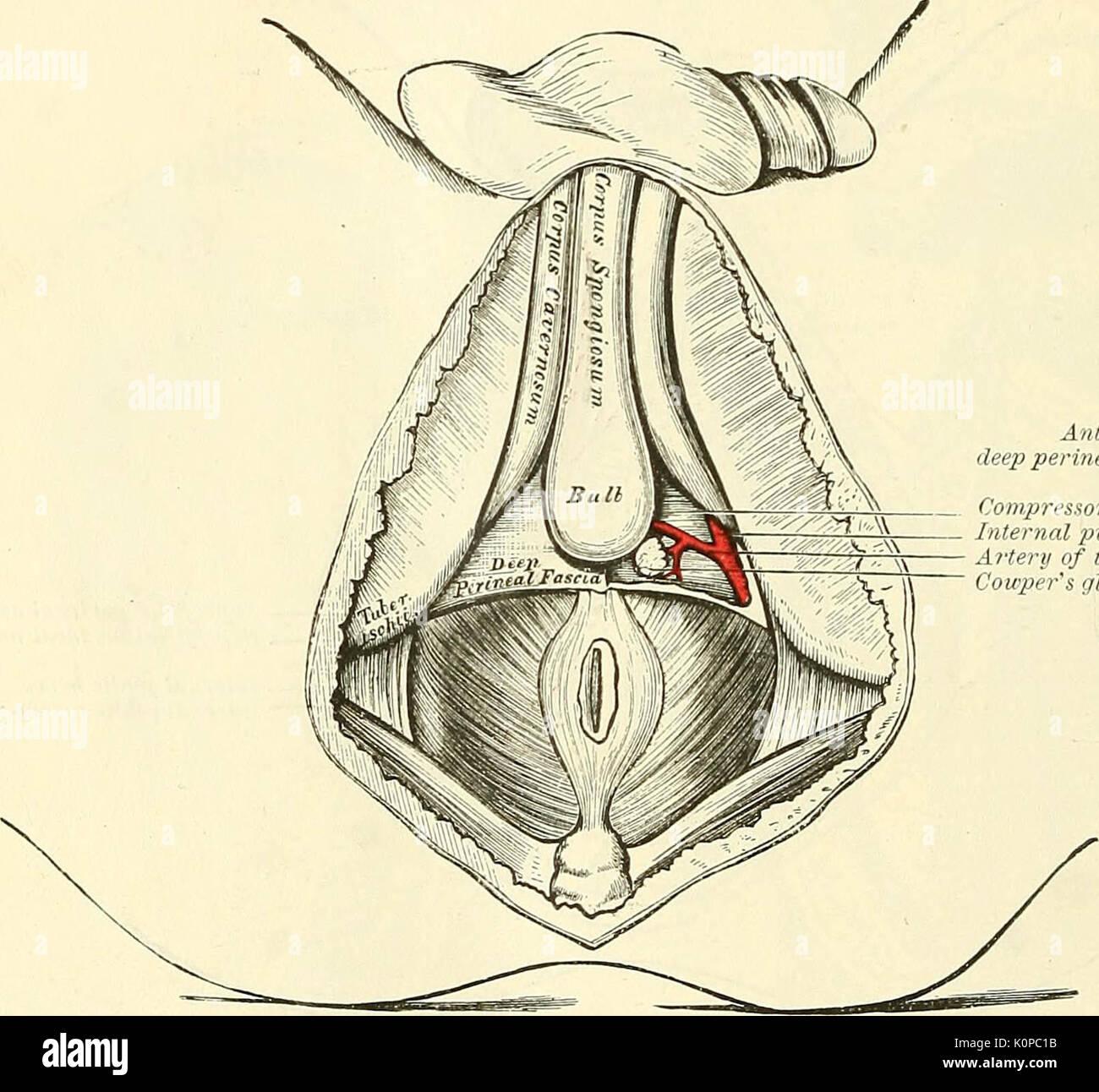 Berühmt Anatomie Beschreibend Und Chirurgische Fotos - Menschliche ...