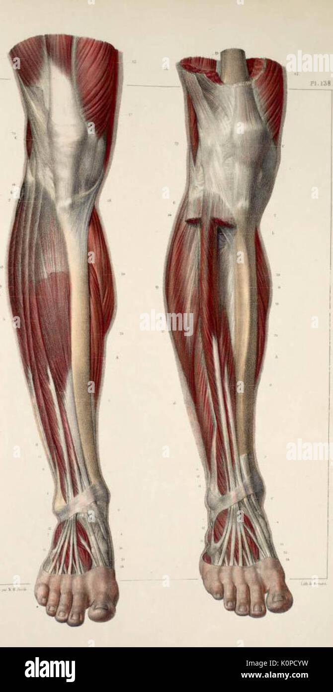Muskeln und Sehnen der Unterschenkel und Fuß Stockfoto, Bild ...