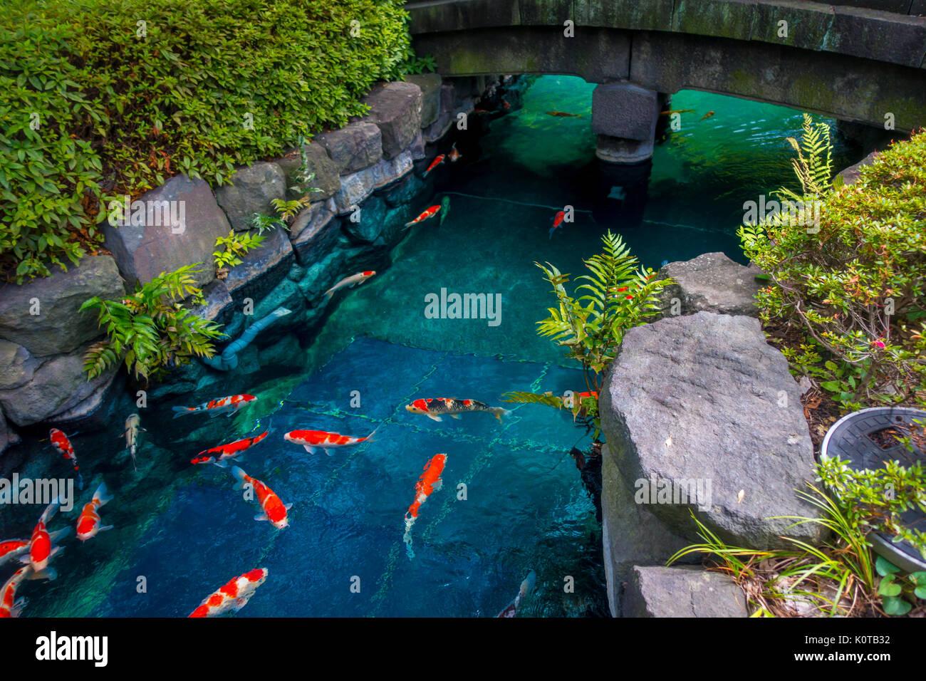 Schöne Koi-fische schwimmen in Pong in einem kleinen Fluss, Teich ...