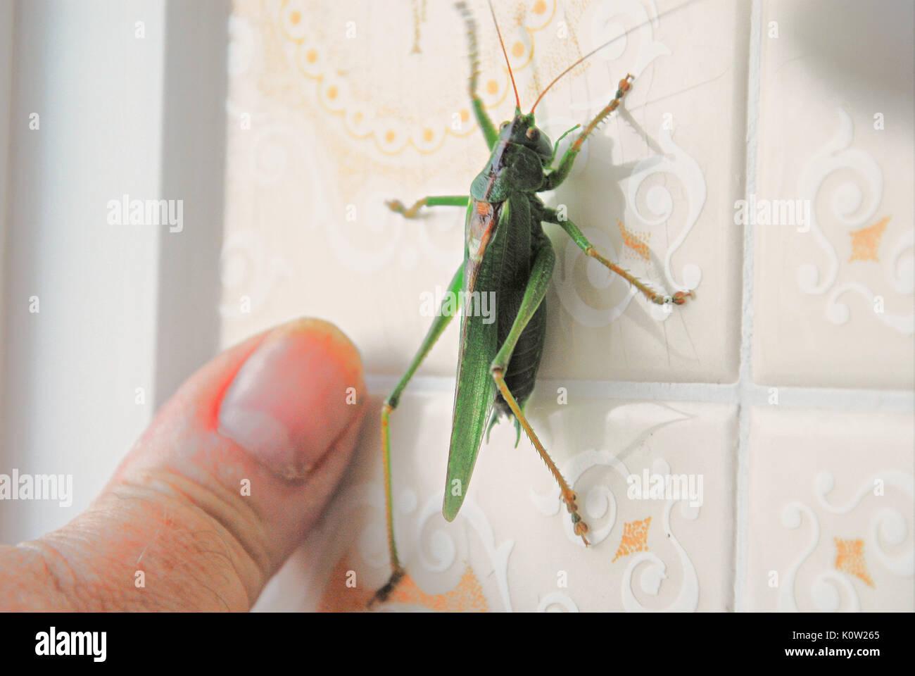 Fortuneswell, Dorset, Großbritannien. 24 Aug, 2017. Warmes Wetter bringt ein Mann großen Green Bush Cricket (Tettigonia Viridissima) im Fortuneswell, Isle of Portland. Dieses wurde in ein Badezimmer und war nicht einfach mit dem Springen Fähigkeiten zu fangen! Credit: stuart Hartmut Ost/Alamy leben Nachrichten Stockbild