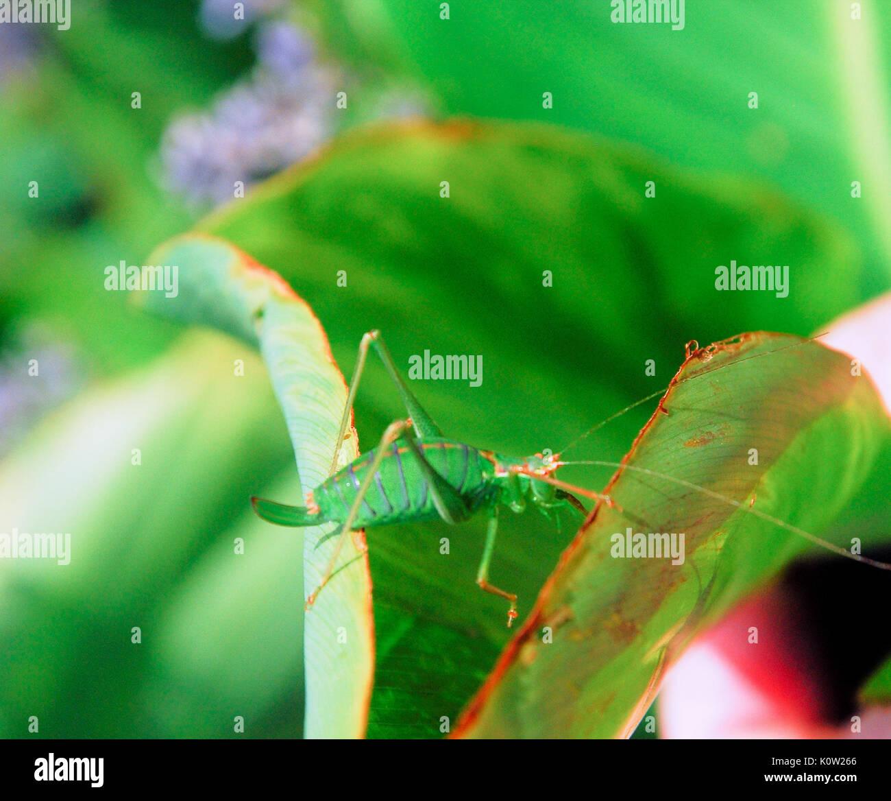 Fortuneswell, Dorset, Großbritannien. 24 Aug, 2017. Warmes Wetter bringt eine weibliche Super Green Bush Cricket Stockfoto