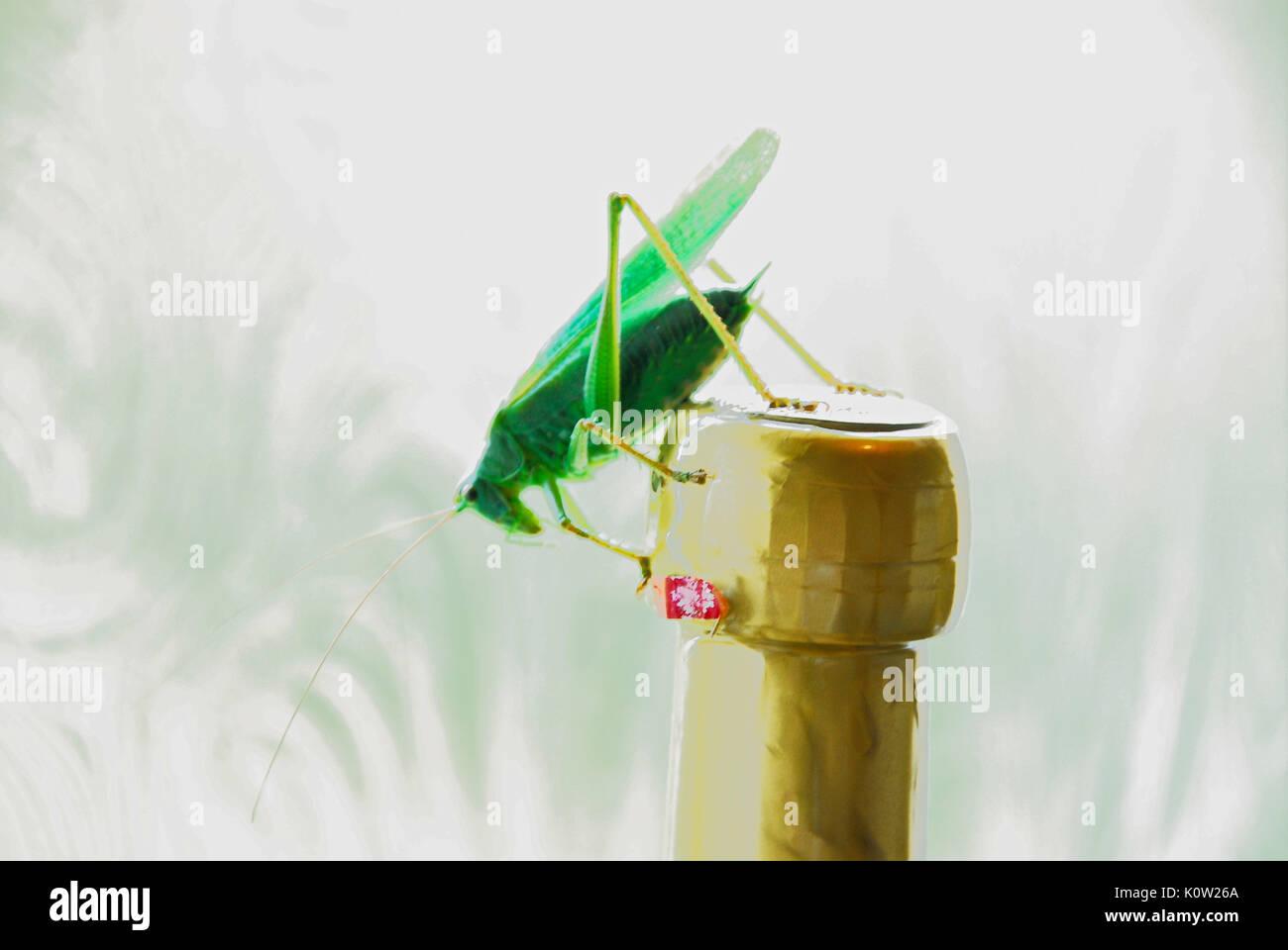 """Fortuneswell, Dorset, Großbritannien. 24 Aug, 2017. Warmes Wetter bringt ein Mann großen Green Bush Cricket (Tettigonia Viridissima) auf einer Flasche """"Bubbly"""" thront in einem fortuneswell Küche, Isle of Portland Credit: stuart Hartmut Ost/Alamy leben Nachrichten Stockbild"""