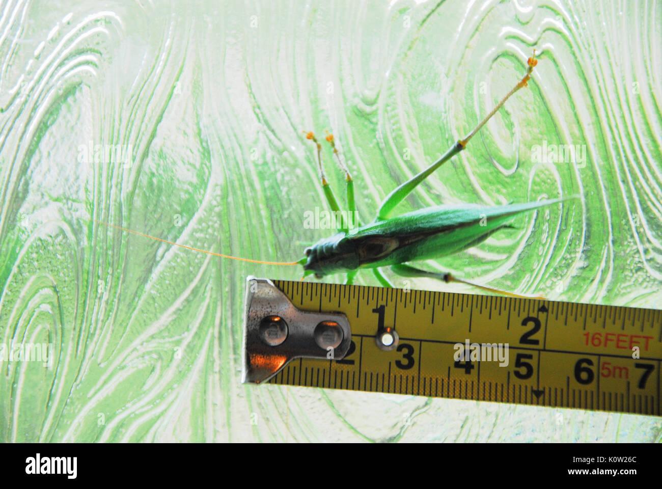 Fortuneswell, Dorset, Großbritannien. 24 Aug, 2017. Warmes Wetter bringt ein Mann großen Green Bush Cricket (Tettigonia Stockfoto