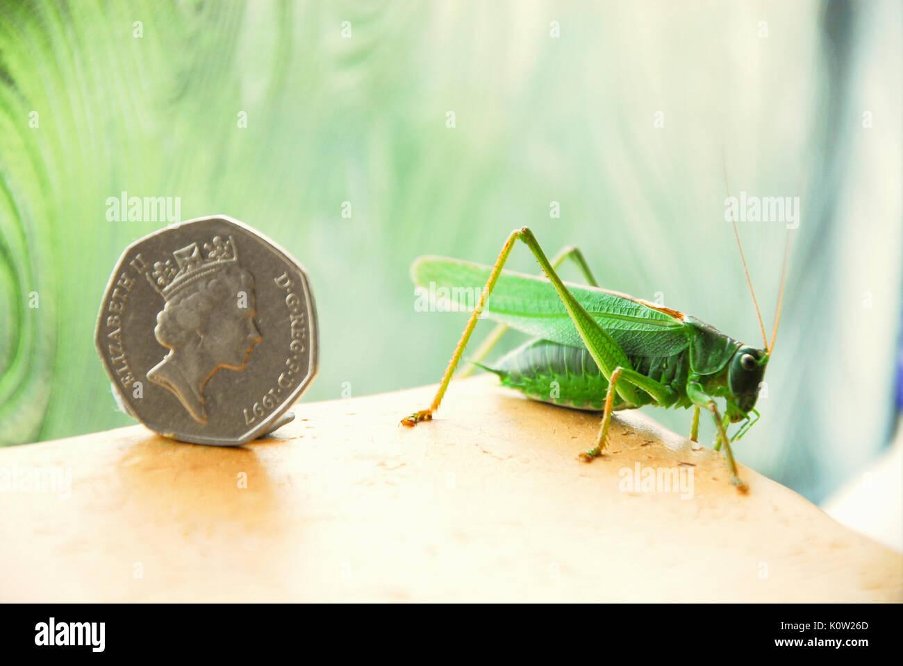 Fortuneswell, Dorset, Großbritannien. 24 Aug, 2017. Warmes Wetter bringt ein Mann großen Green Bush Cricket (Tettigonia Viridissima) im Fortuneswell, Isle of Portland, gesehen neben einem 50p Münze Credit: stuart Hartmut Ost/Alamy leben Nachrichten Stockbild