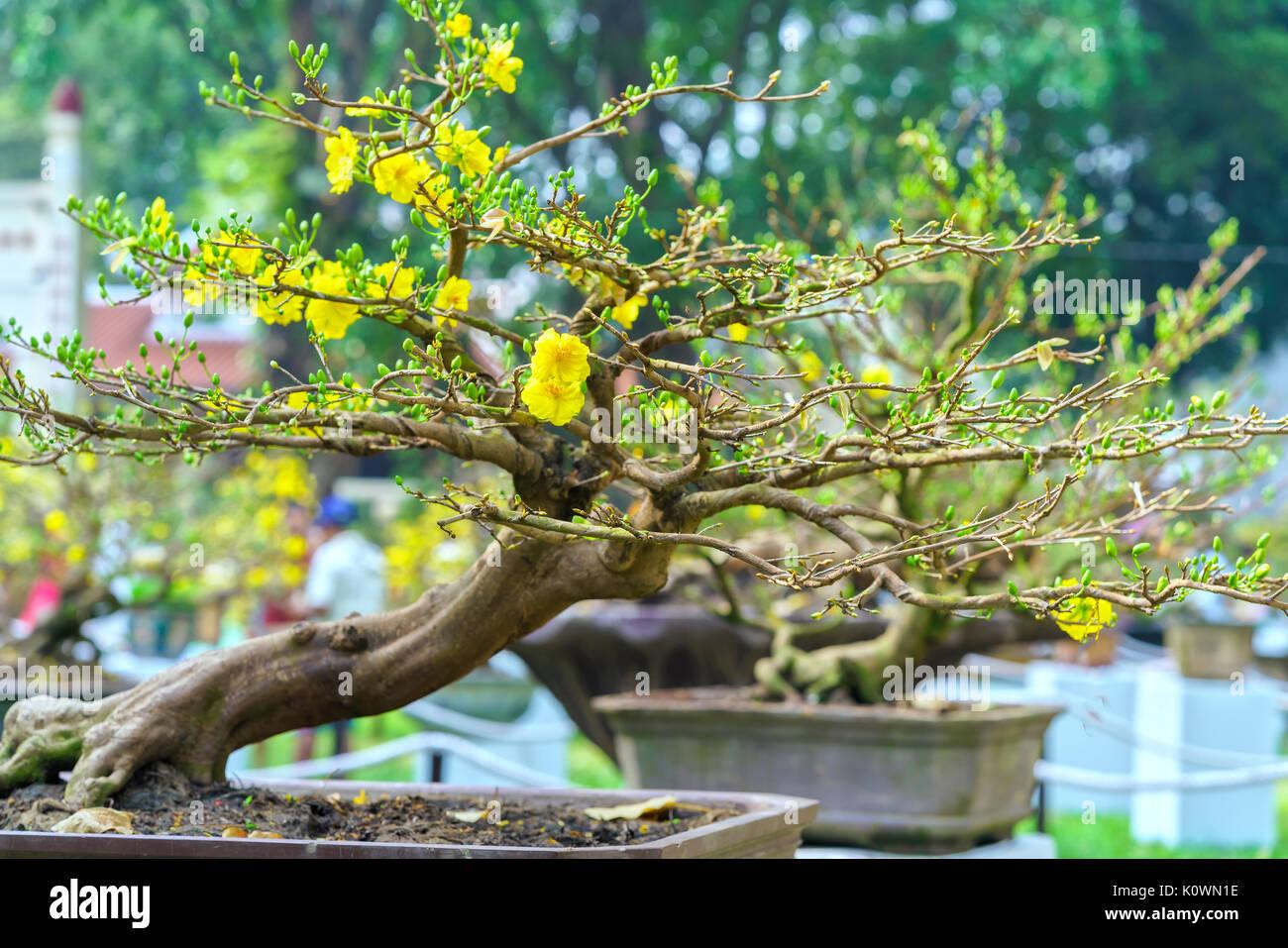 aprikose bonsai baum bl hen im fr hling mit gelb bl hende zweige geschwungene schaffen. Black Bedroom Furniture Sets. Home Design Ideas