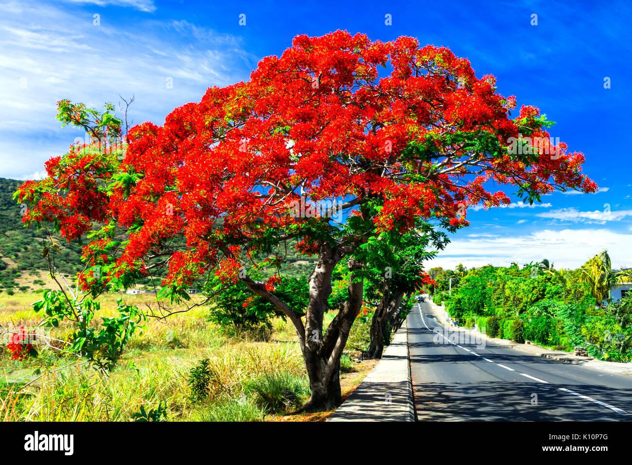 wundersch ner exotischer baum mit roten blumen flamboyant mauritius stockfoto bild 155525428. Black Bedroom Furniture Sets. Home Design Ideas