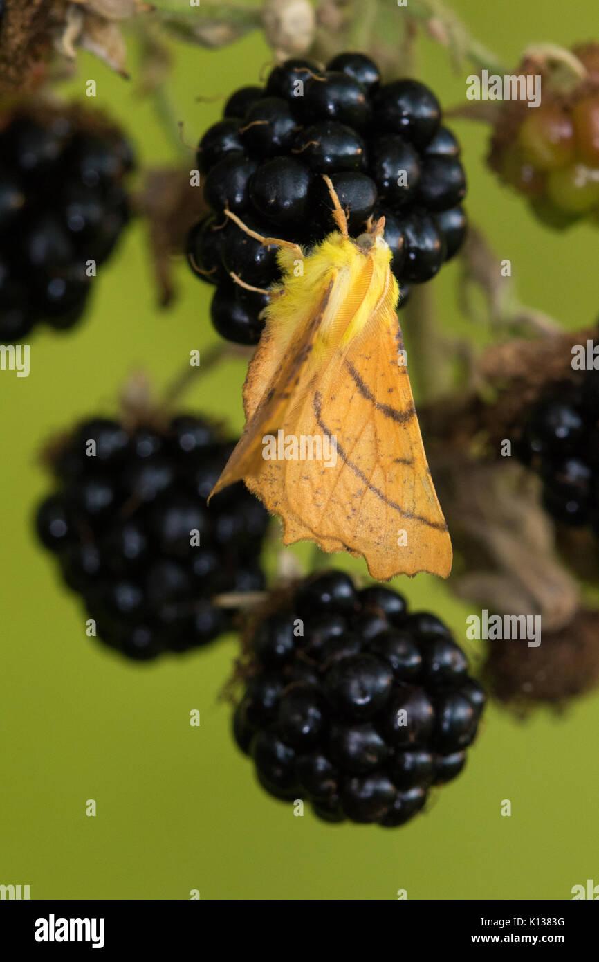 Kanarische Inseln - Schulterte Thorn (Ennomos alniaria) auf einem Blackberry Stockbild