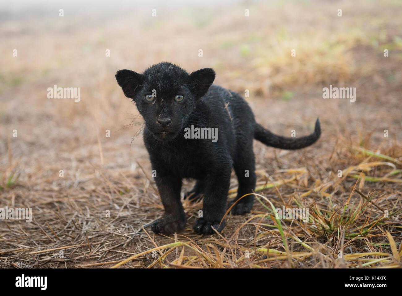 baby schwarz jaguar im instituto on a pintada geboren. Black Bedroom Furniture Sets. Home Design Ideas