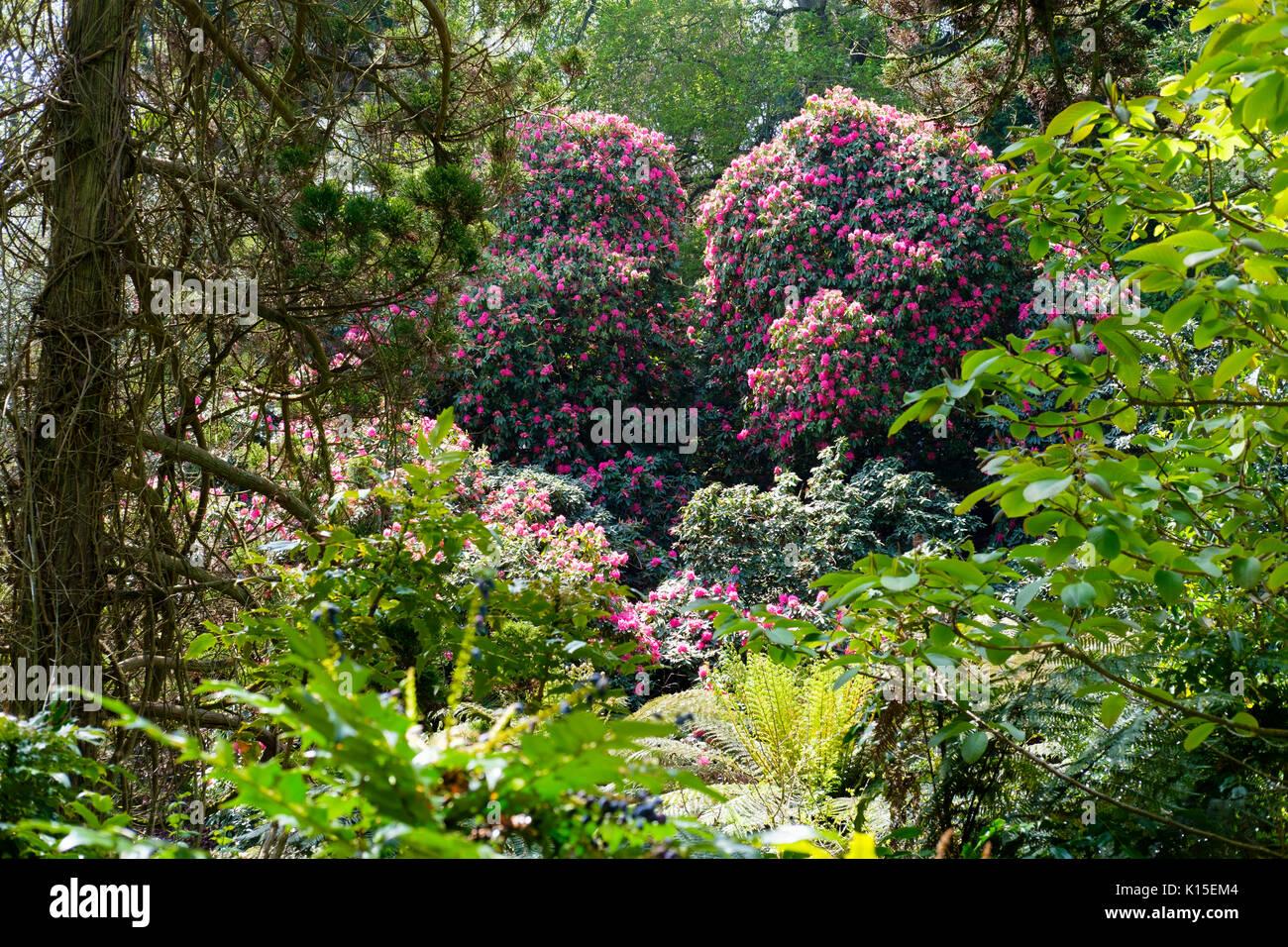 Blühende Rhododendron, Dschungel, die Verlorenen Gärten von Heligan, in der Nähe von St Austell, Cornwall, England, Vereinigtes Königreich Stockbild