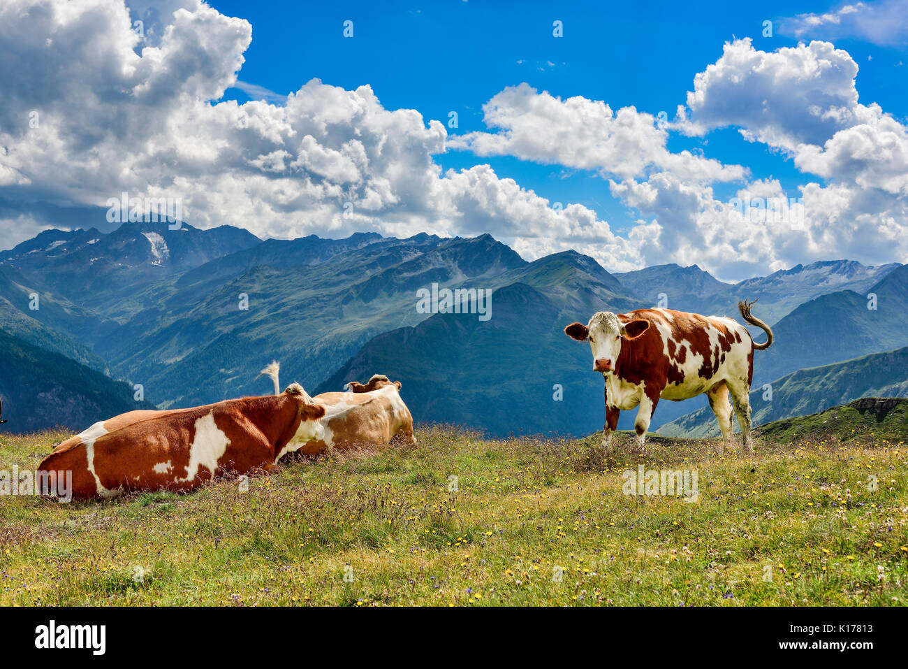 Alp Kühe auf der Weide Stockbild