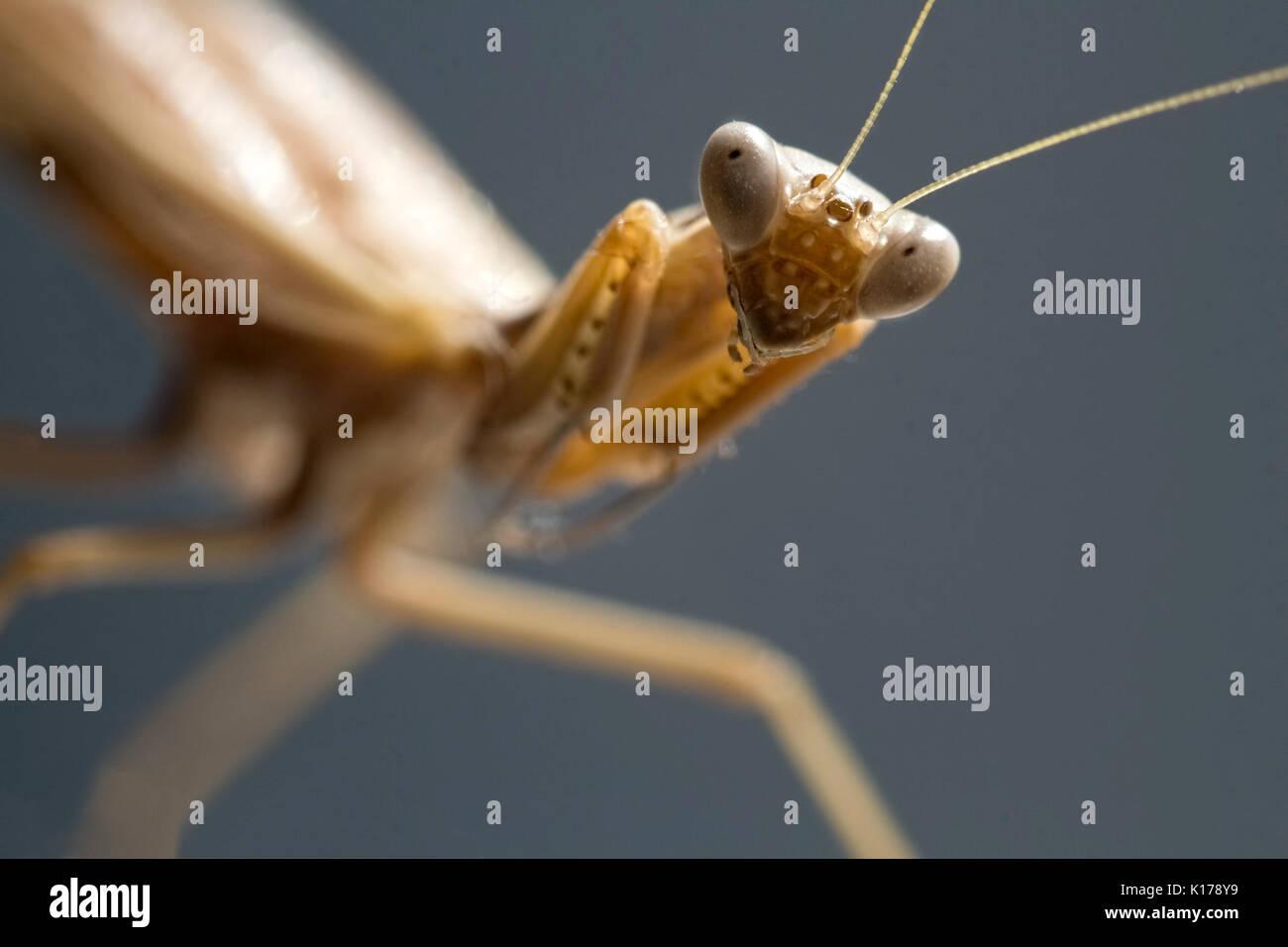Anblick einer mantis - Porträt eines Insekts Stockbild