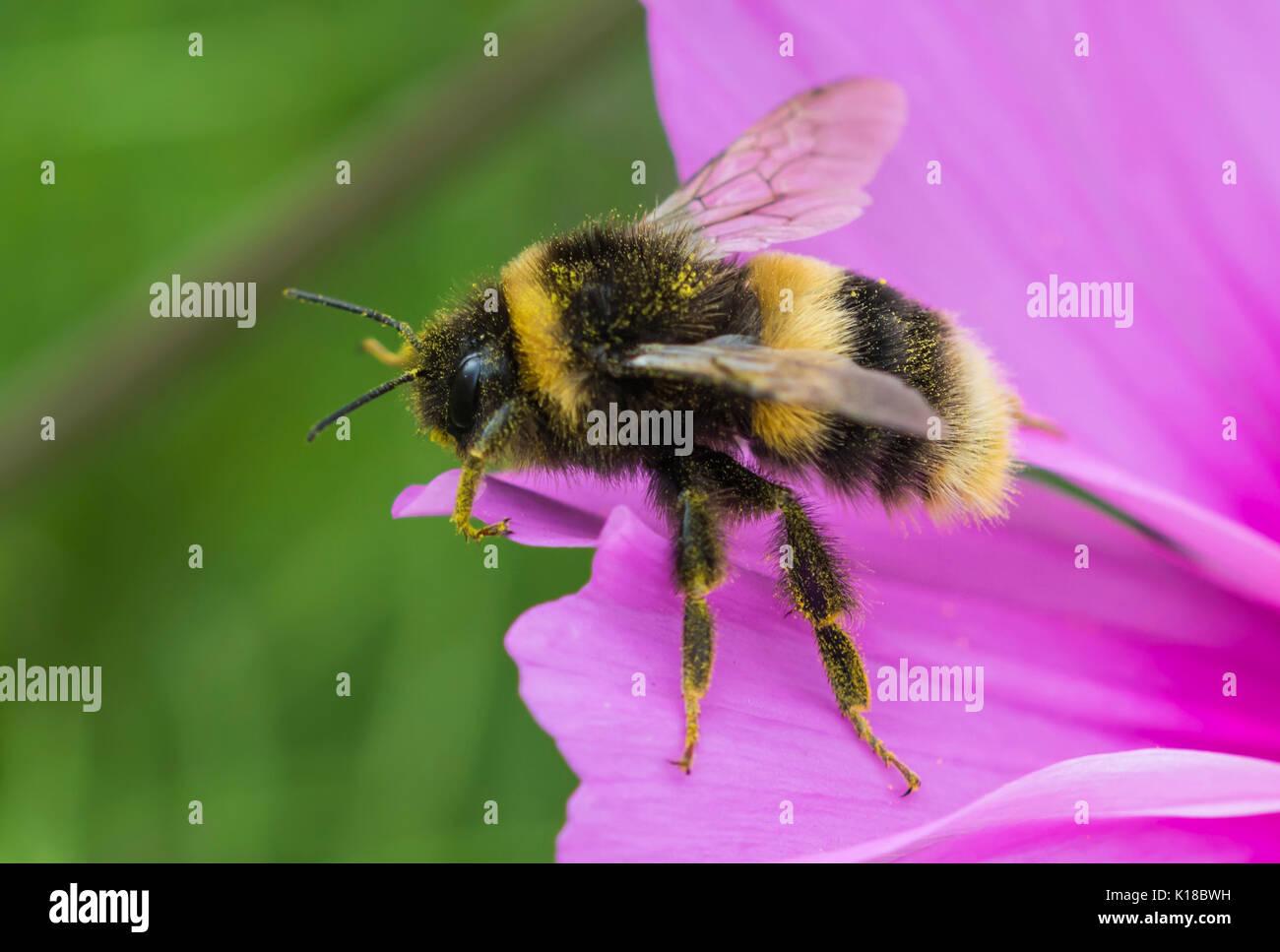 Bombus terrestris (Buff Tailed Hummel) Makro auf einem pinkfarbenen Schmuckkörbchen Blume im Sommer in West Sussex, UK. Bumblebee Nahaufnahme. Biene. Stockbild