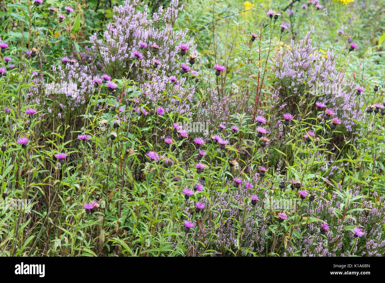 Schottische Wildblumen - lila Heidekraut und gemeinsame Flockenblume Stockbild