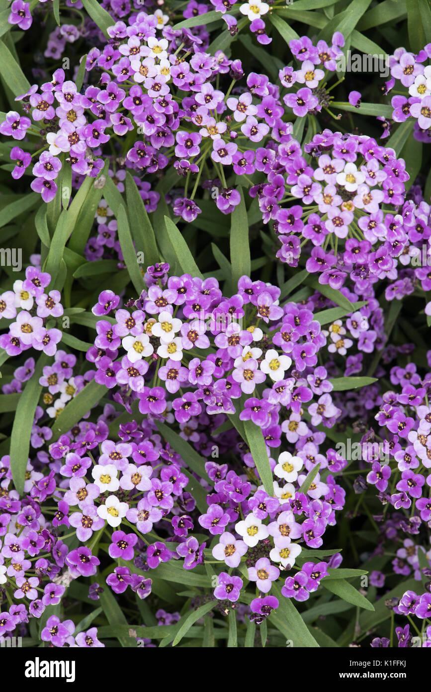 Lobularia super bicolor Lila weiße verbessert. Süße alyssum Blumen. Hybrid Stockbild