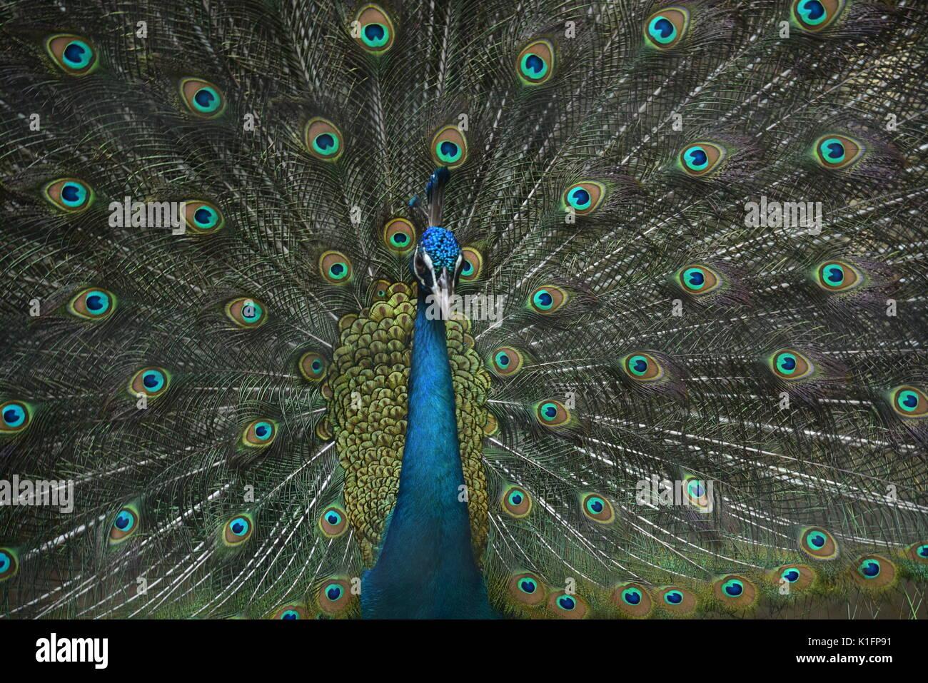 Pfau Vogel tanzen im Regen Stockbild