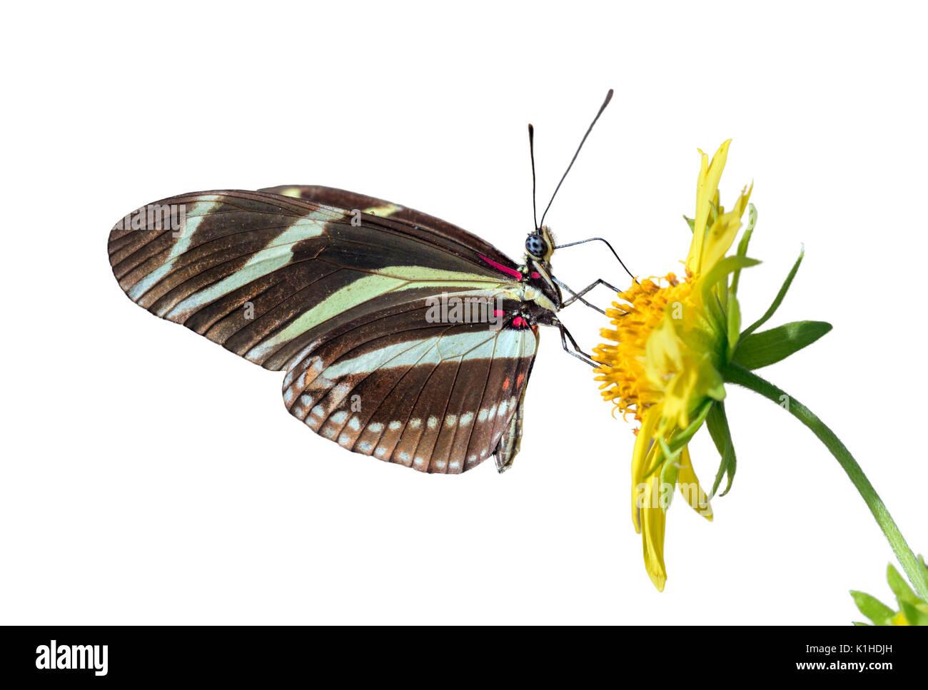 Zebra Longwing Schmetterling (Heliconius charitonius) Fütterung auf eine Blume, auf weißem Hintergrund Stockbild