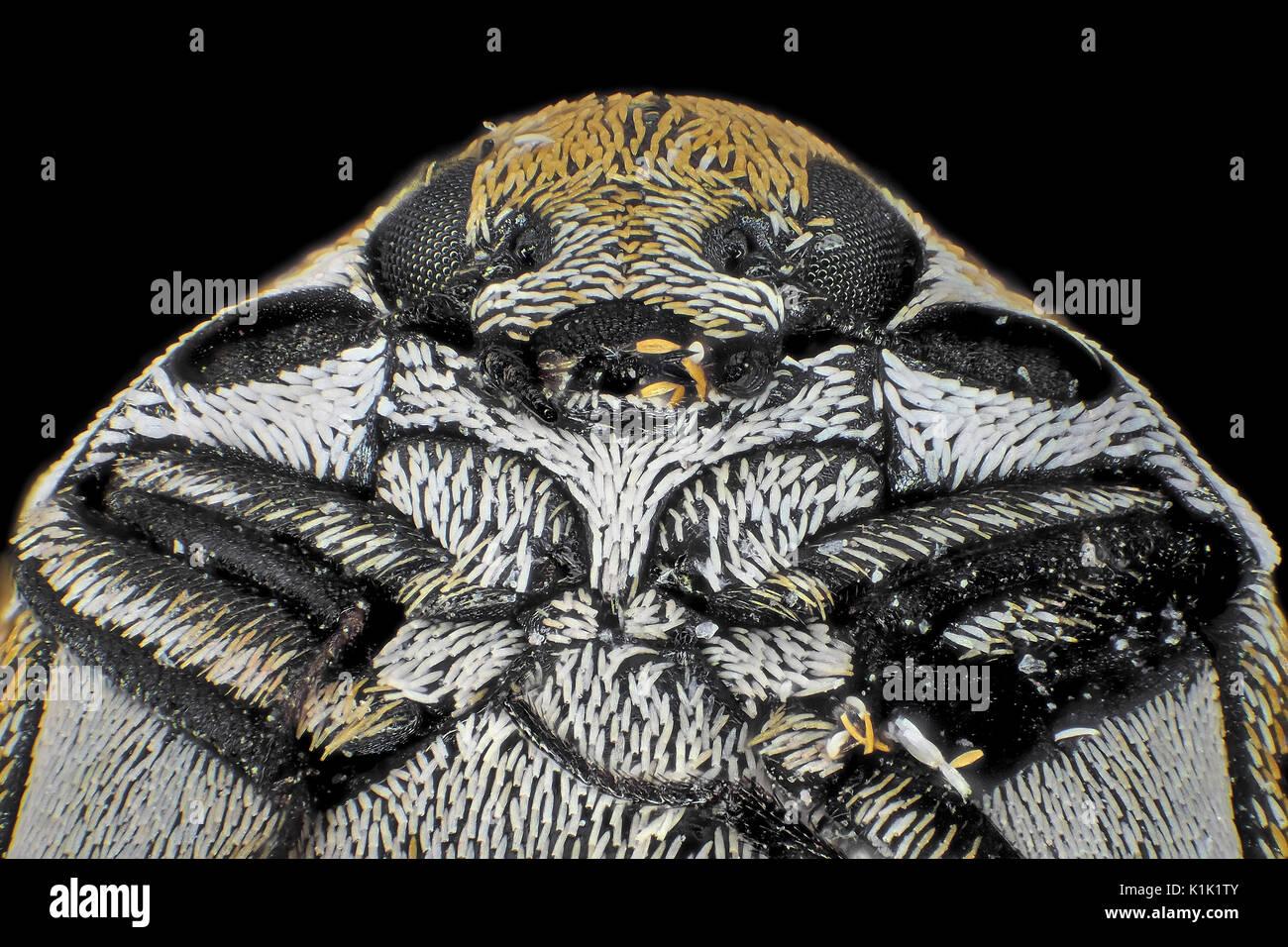 Reflektierte licht Schliffbild der mannigfaltigen Teppich Käfer (Anthrenus verbasci), dargestellt ist ca. 1,5 mm Breite Stockbild