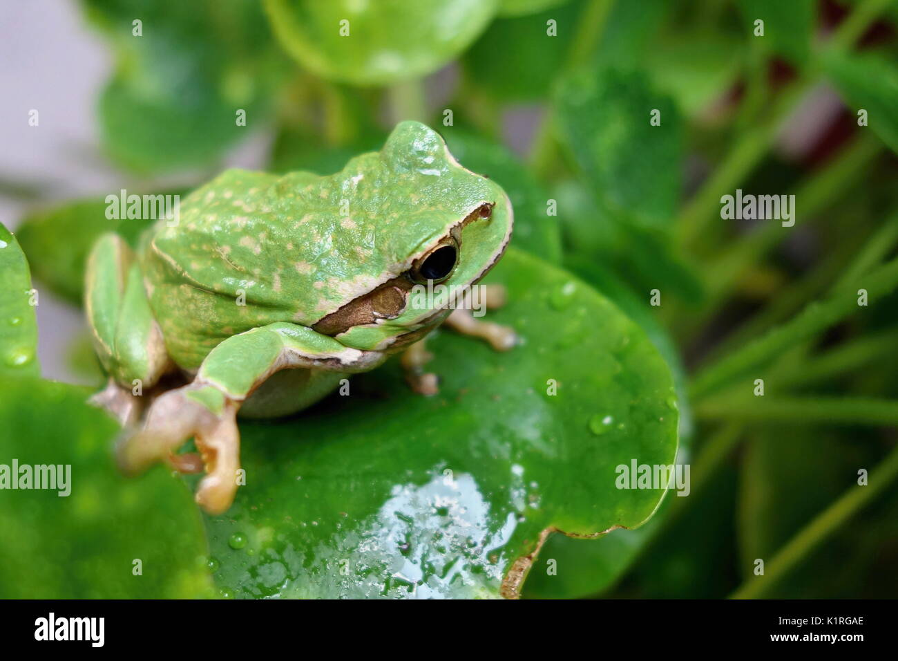 Schöne grüne Amphibienarten Laubfrosch, Hyla arborea, sitzen auf Gras Lebensraum. Stockbild