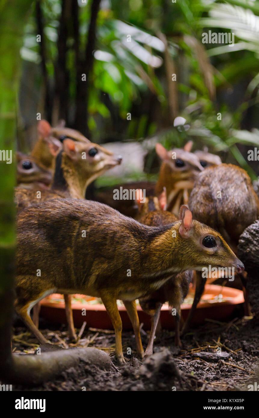 Geringerem Maus-Rotwild im Fragile Wald Gehege im Zoo Singapur, Singapur Stockbild