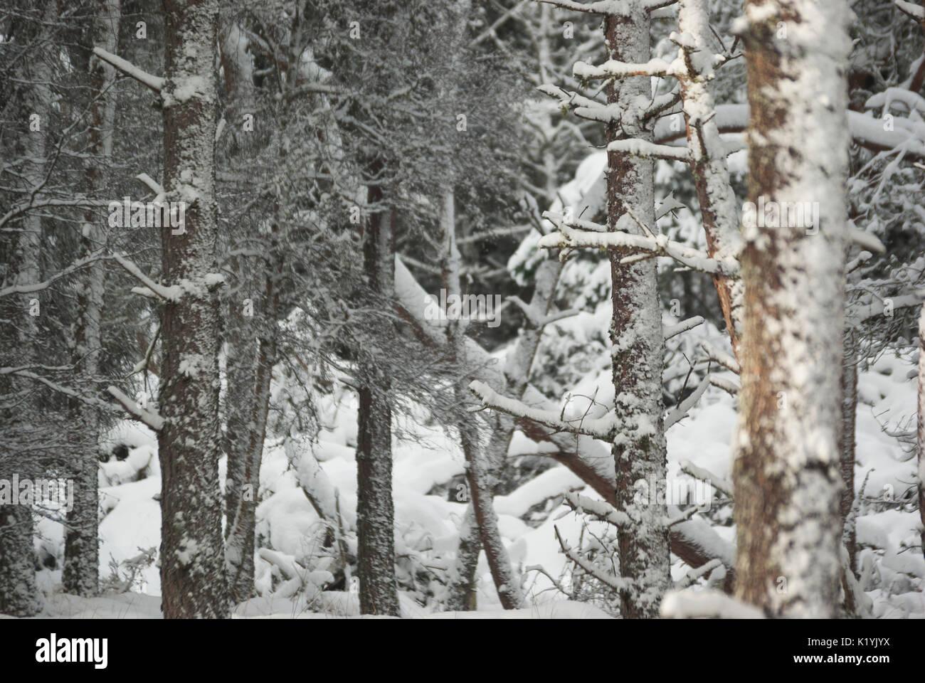 Pine Tree trunks in Schnee, Rogart, Sutherland, Highlands, Schottland, UK Stockfoto