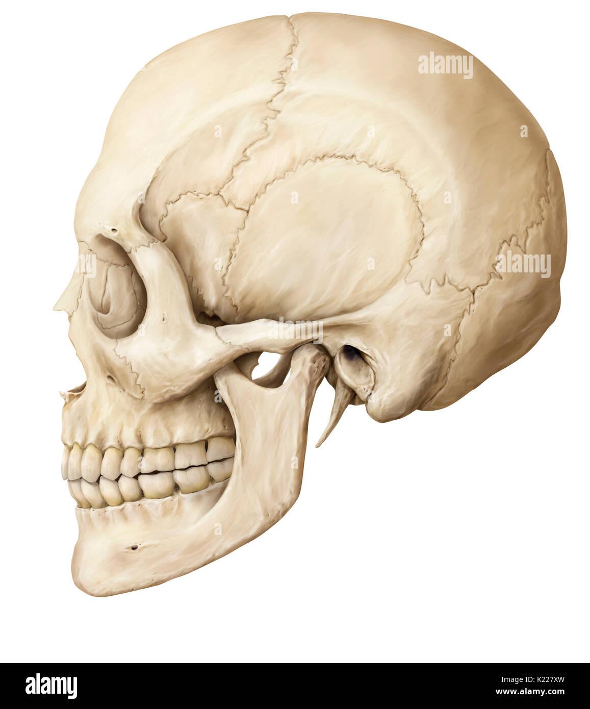 Ziemlich Gehirn Knochen Anatomie Fotos - Menschliche Anatomie Bilder ...