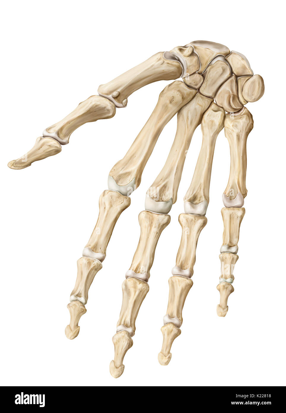 Bone Of The Hand Anterior View Stockfotos & Bone Of The Hand ...