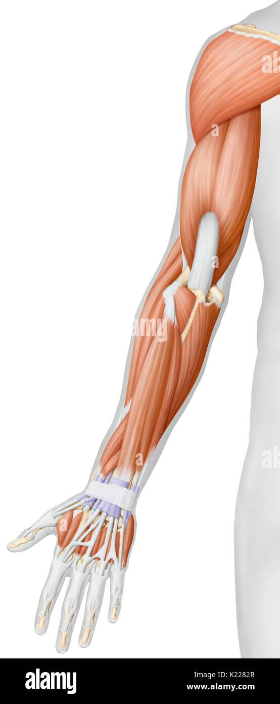Fantastisch Muskelanatomie Des Armes Galerie - Menschliche Anatomie ...