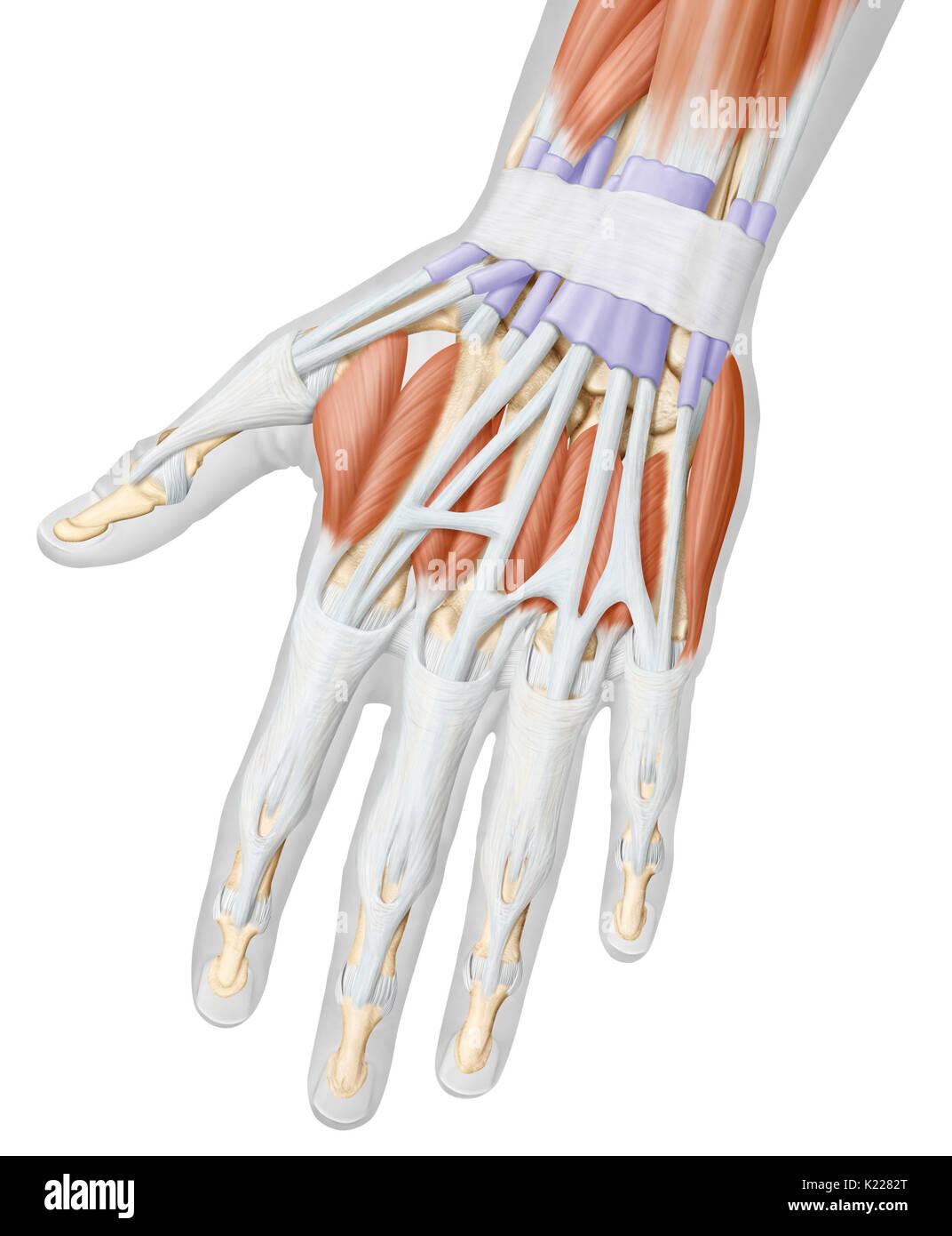 Groß Handgelenk Hand Anatomie Galerie - Menschliche Anatomie Bilder ...